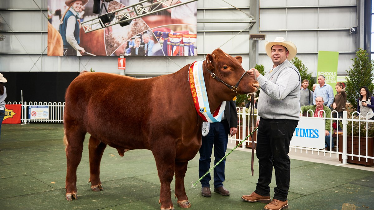 beef cattle royal melbourne show